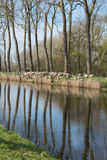 绵羊Damse Vaart群在比利时 库存照片
