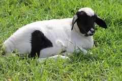 绵羊pic 免版税图库摄影