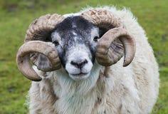 绵羊Ram垫铁 库存图片