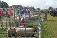 绵羊Usk展示 库存照片