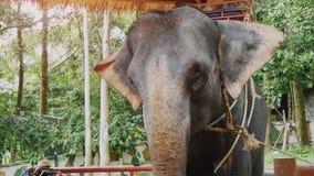 美丽与挥动他的耳朵的鞔具的一头大象在农场 慢的行动 1920x1080 影视素材