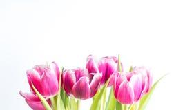 美丽两上色了郁金香接近在白色背景 免版税库存图片