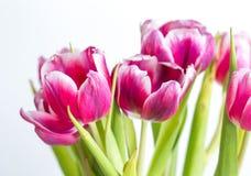 美丽两上色了郁金香接近在白色背景 免版税库存照片