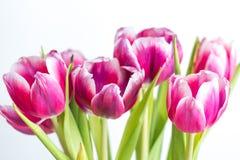 美丽两上色了郁金香接近在白色背景 库存图片