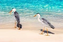 美丽两在一个美丽的意想不到的海滩的野生白色苍鹭在反对蓝色清楚的水的马尔代夫海岛 库存图片