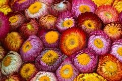 美丽五颜六色的干燥永恒花 免版税库存照片