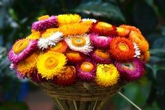 美丽五颜六色的干燥永恒花 库存照片