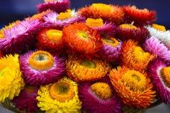 美丽五颜六色的干燥永恒花 库存图片