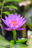 美丽五颜六色的紫色荷花 库存图片