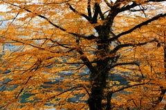 美丽传播在金黄叶子的明亮地被点燃的秋天树枝 免版税库存照片