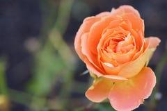 美丽俏丽在庭院里上升了 免版税图库摄影