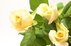美丽变苍白玫瑰色淡黄色 库存图片