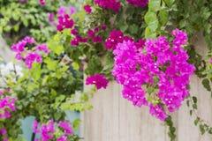 美丽和五颜六色的九重葛花 有生长在墙帷的上面的明亮的桃红色九重葛植物的墙壁 免版税库存照片