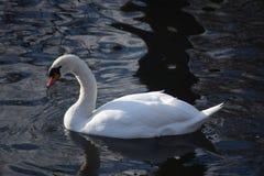 美丽和优美的白色天鹅,在地面上的最美丽的鸟 他们在冬天河寒冷游泳在太阳下 库存照片