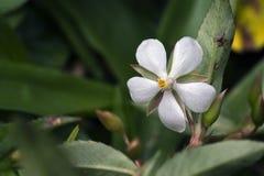 美丽和侈奢的微白花 免版税库存图片