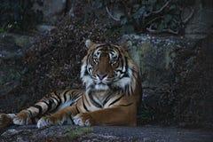 美丽和庄严野生孟加拉老虎坐岩石 免版税库存图片