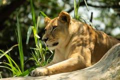 美丽和强有力的雌狮画象  库存照片