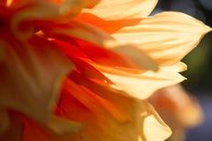 美丽和新鲜的黄色花特写镜头在热带 免版税库存图片