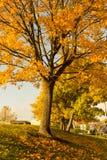 美丽和明亮,槭树用桔子在秋天离开 免版税库存图片