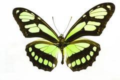 美丽和有启发性柠檬绿蝴蝶 免版税库存照片
