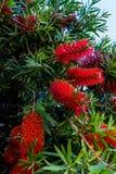 与明亮的红色和黄色绽放的洗瓶刷树 免版税图库摄影