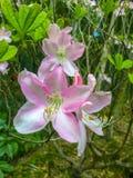 美丽和迷人的桃红色百合开花 免版税库存照片