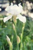 美丽唯一白色虹膜花卉生长在bokeh自然本底的夏天庭院里 关闭 库存图片