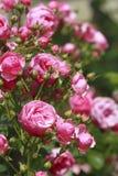 美丽在庭院里上升了 免版税图库摄影