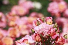 美丽在庭院里上升了 库存图片