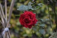 美丽在庭院里上升了 免版税库存图片