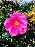 美丽在芝加哥植物园上升了 免版税库存照片
