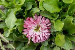 美丽多彩多姿被拍摄的花紧密  图库摄影