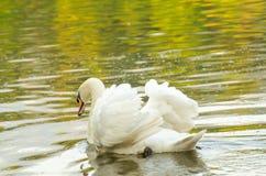 美丽天鹅座olor,白色天鹅 免版税库存图片