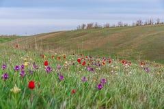 美丽如画春天开花在卡尔梅克的干草原的野生矮小的郁金香 免版税库存图片