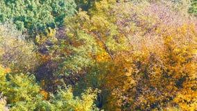 美丽如画的在树的风景五颜六色的秋天叶子在森林里本质上 股票录像