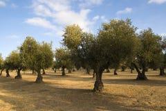 美丽如画的橄榄树小树林 库存图片