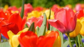 美丽如画的美丽的五颜六色的红色和黄色郁金香花在春天庭院里开花 r 股票视频