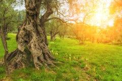 美丽如画的橄榄树小树林在阳光下 免版税库存图片