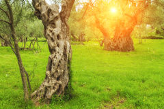 美丽如画的橄榄树小树林在阳光下 库存照片