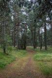 美丽如画的足迹在杉木森林里 免版税库存图片