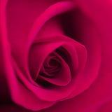 美丽宏观的花上升了 图库摄影