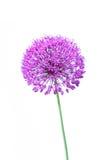 美丽开花的葱属接近  免版税库存照片