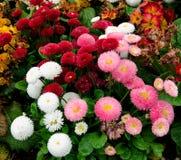 美丽开花红色白色和桃红色延命菊雏菊在公园开花 免版税库存图片