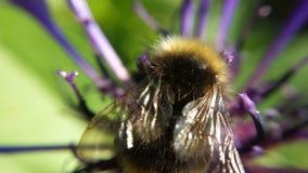 美丽弄糟在花宏指令照片的蜂 免版税库存图片