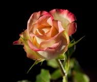 美丽接近玫瑰色  免版税图库摄影
