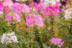 美丽桃红色的花,背景和纹理 库存图片