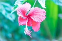 美丽桃红色的花 免版税图库摄影