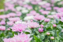 美丽桃红色菊花花在领域选择聚焦 免版税库存图片