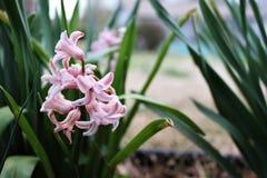 美丽桃红色风信花的花 免版税库存照片
