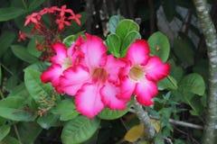 美丽桃红色Adenium的花 库存照片
